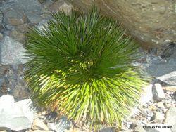 Phil Bendle Collection:Aciphylla dissecta (Tararua speargrass)
