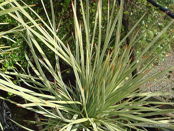 Aciphylla glaucescens-002.JPG