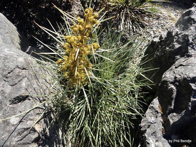 Aciphylla squarossa.JPG