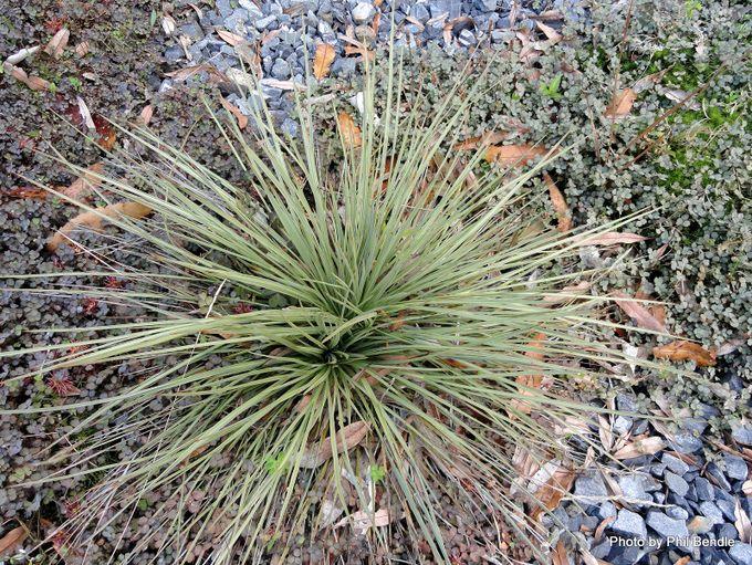 Aciphylla subflabellata Kurikuri speargrass-002.JPG