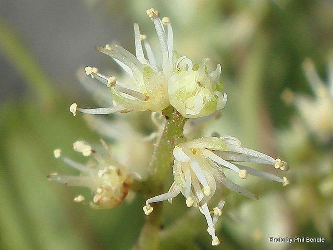 Ackama rosifolia Makamaka-001.JPG