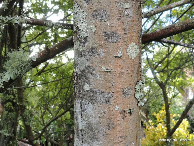 Ackama rosifolia Makamaka-006.JPG