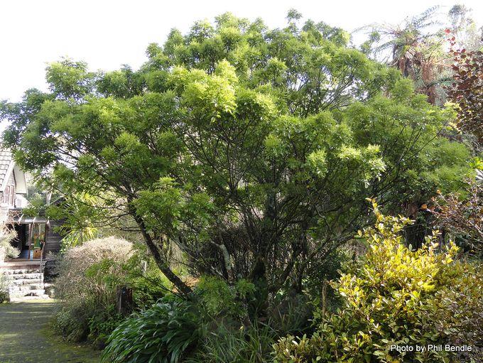 Ackama rosifolia Makamaka-015.JPG