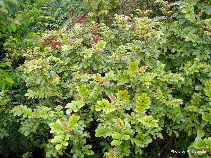 Ackama rosifolia Makamaka.-004.JPG