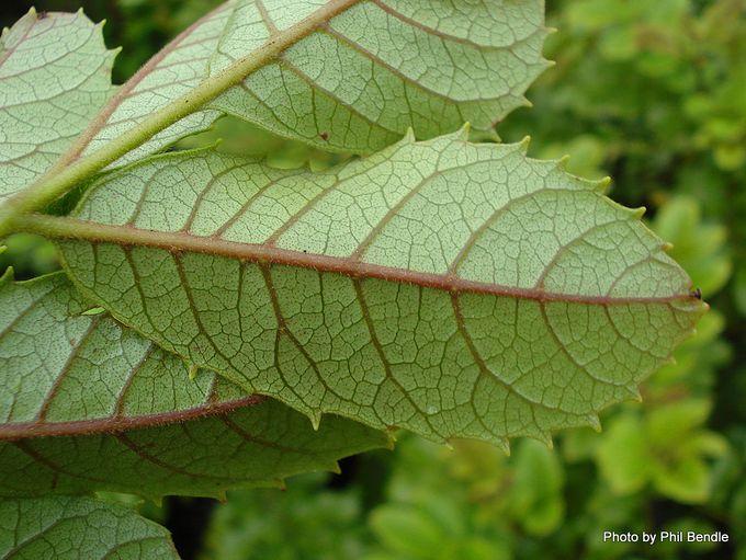 Ackama rosifolia Makamaka.-005.JPG