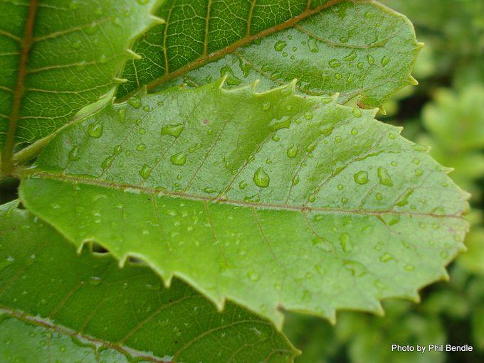 Ackama rosifolia Makamaka.-008.JPG