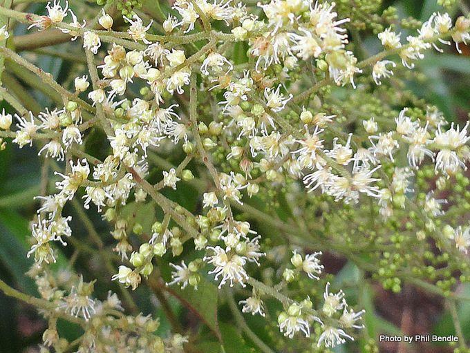 Ackama rosifolia Makamaka.JPG