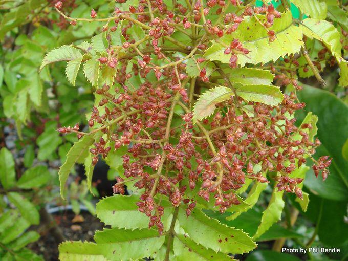 Ackama rosifolia Makamaka cluster of red fruit.JPG