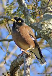 Phil Bendle Collection:Mynah (Acridotheres tristis)