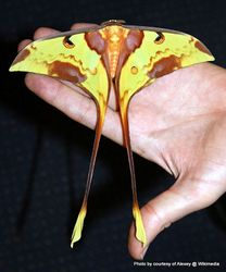 Phil Bendle Collection:Actias maenas (Malaysian moon moth)