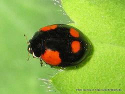 Phil Bendle Collection:Ladybird (Two spotted) Adalia bipunctata .