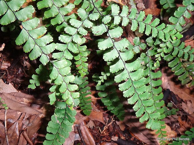 Adiantum diaphanum Small maidenhair -002.JPG