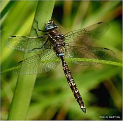 Phil Bendle Collection:Dragonfly (Blue Spotted Hawker) Adversaeschna brevistyla