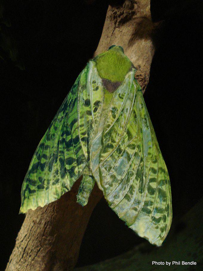 Aenetus virescens Puriri moth3.jpg