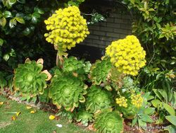 Phil Bendle Collection:Aeonium arboreum (Green arboreum)