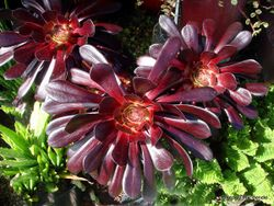 Phil Bendle Collection:Aeonium arboreum Zwartkop (Large Purple Aeonium)