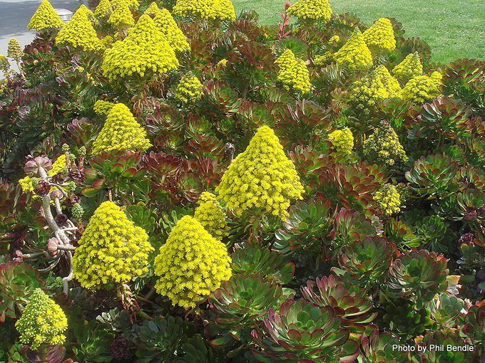 Aeonium arboreum var. artopurpureum-001.JPG