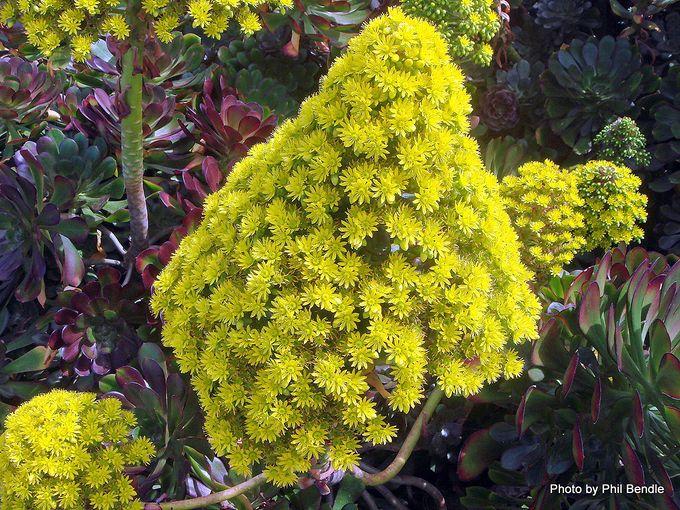 Aeonium arboreum var. artopurpureum-002.JPG