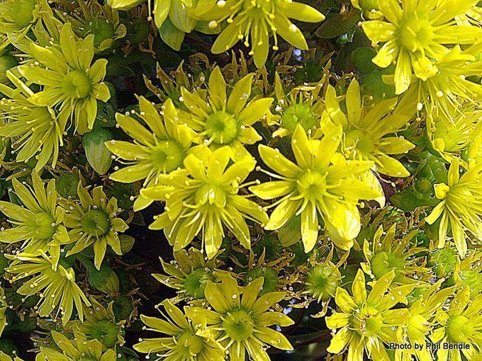 Aeonium arboreum var. artopurpureum-003.JPG
