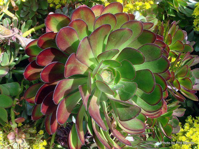 Aeonium arboreum var. artopurpureum-004.JPG
