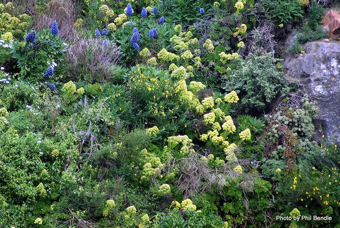 Aeonium arboreum var. artopurpureum.JPG