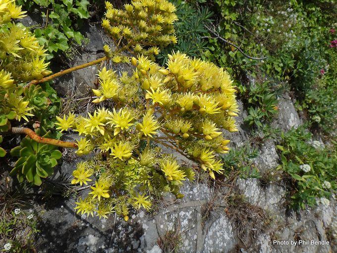Aeonium haworthii hybrid-001.JPG