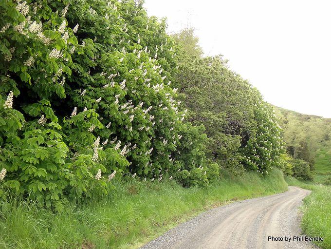 Aesculus hippocastanum Horse chestnut-001.JPG