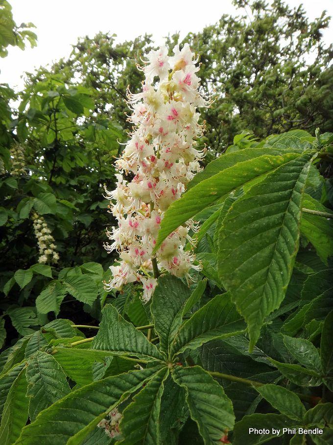 Aesculus hippocastanum Horse chestnut.JPG