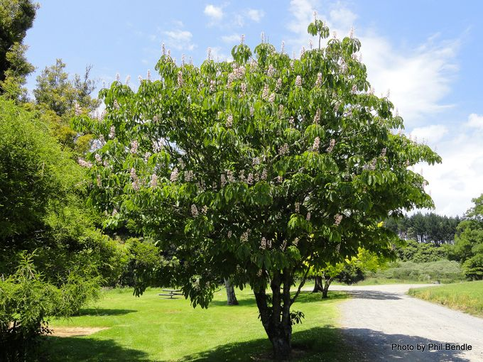 Aesculus indica Indian Horse Chestnut.JPG