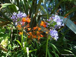 Phil Bendle Collection:Agapanthus praecox (Agapanthus)