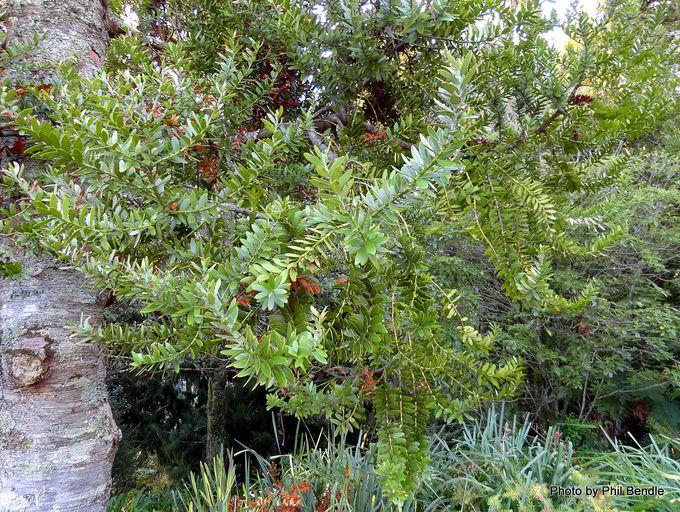 Agathis robusta Queensland kauri-014.JPG