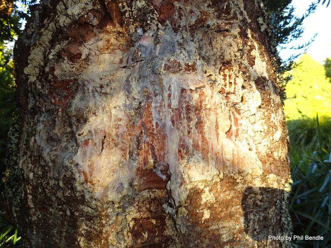 Agathis robusta Queensland kauri-020.JPG