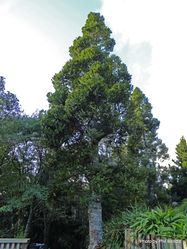 Phil Bendle Collection:Agathis robusta (Queensland Kauri)
