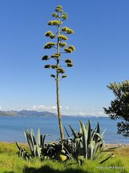 Phil Bendle Collection:Agave Americana (Century plant)
