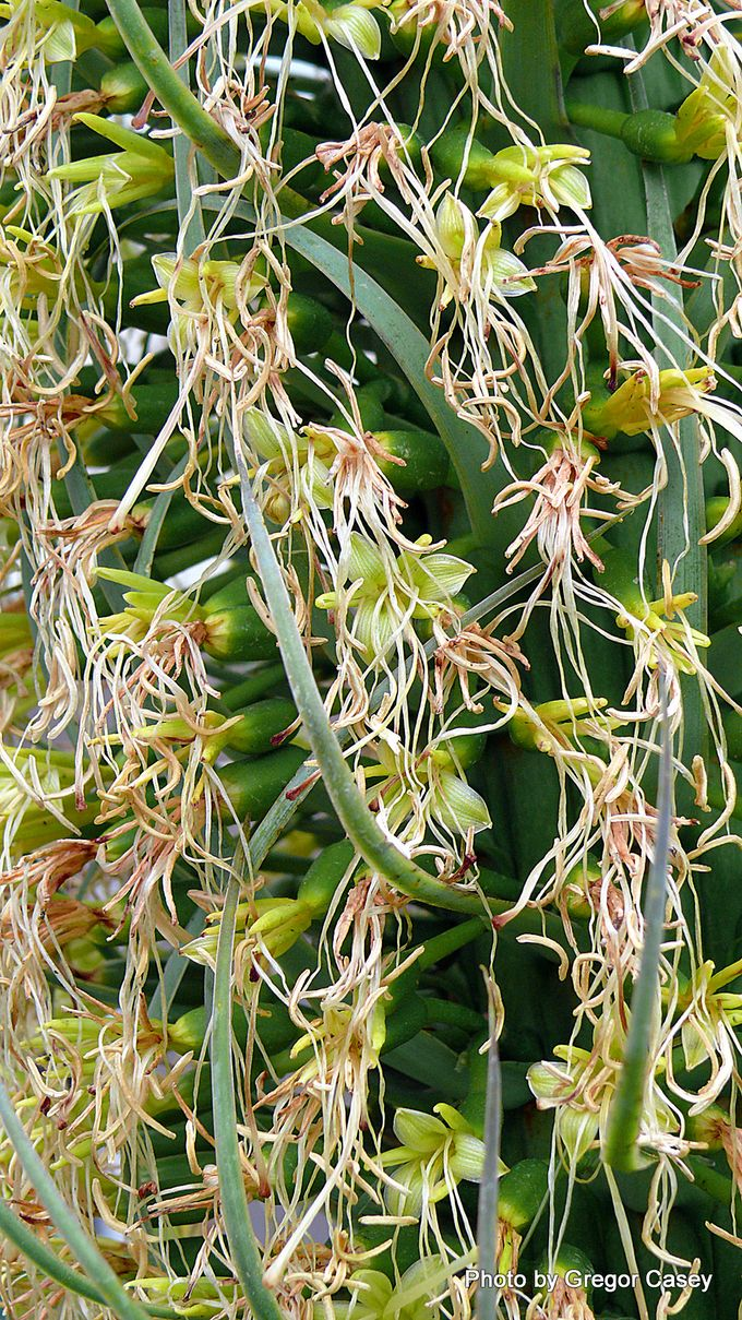 Agave attenuata Swans Neck Agave-001.JPG