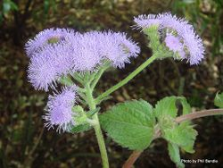 Phil Bendle Collection:Ageratum houstonianum (Bluemink)
