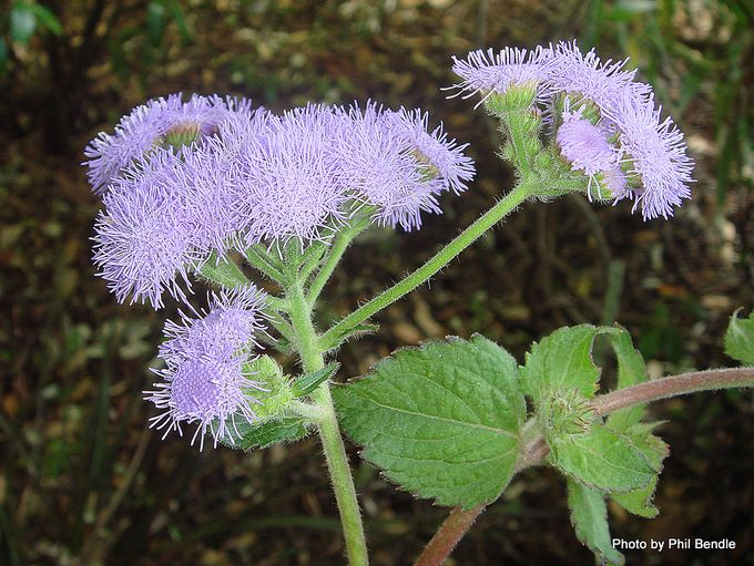 Ageratum houstonianum Floss flower .JPG