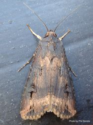 Phil Bendle Collection:Agrotis ipsilon (Greasy Cutworm)