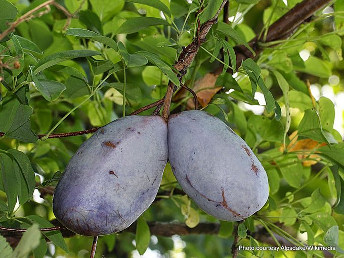 Akebia quinata fruits 19-10-2016 4-40-01 PM.JPG