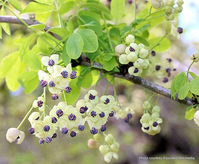 Akebia quinata male flowers.JPG