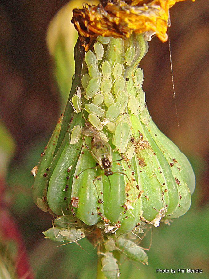Alate winged morph. aphid.JPG