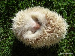 Phil Bendle Collection:Hedgehog (Albino) Erinaceus europaeus ssp. occidentalis