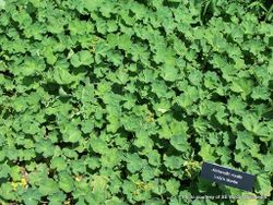 Phil Bendle Collection:Alchemilla mollis (Lady s mantle)