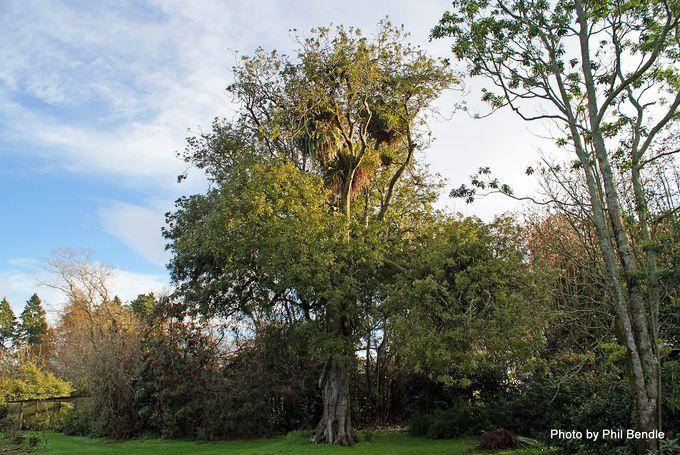 Alectryon excelsus Titoki tree-001.JPG