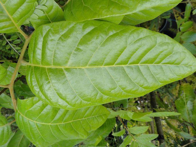 Alectryon excelsus grandis-001.JPG
