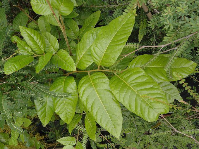 Alectryon excelsus grandis-004.JPG