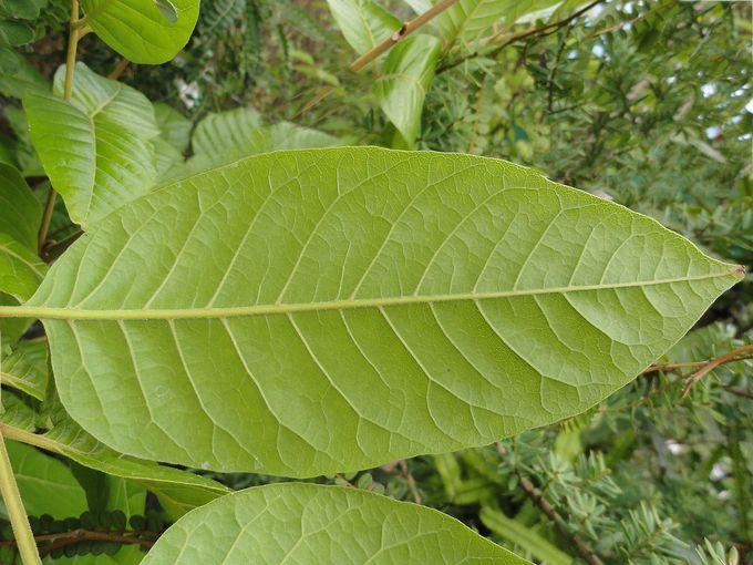 Alectryon excelsus grandis-005.JPG
