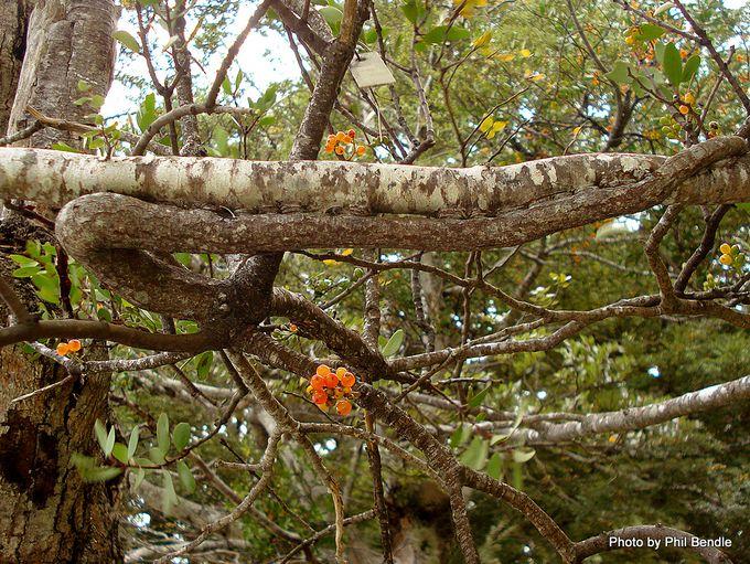 Alepis flavida Yellow mistletoe-17.JPG