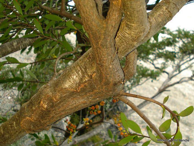 Alepis flavida Yellow mistletoe-2.JPG
