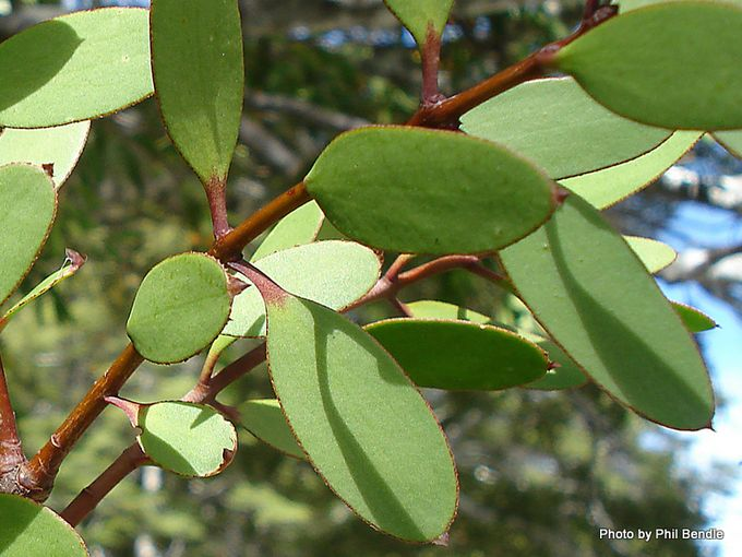 Alepis flavida Yellow mistletoe-8.JPG